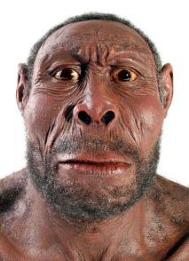 Homo erectus 1