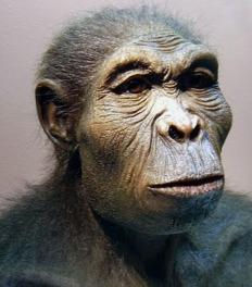 Homo habilis 4